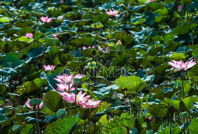 Water lilies on a pond - Free image #304469