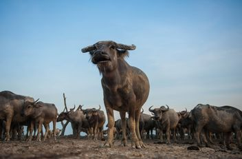 Herd of buffaloes - image #304749 gratis