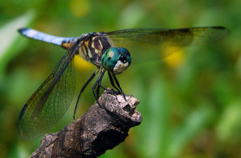 Blue Dasher, Male - image gratuit #306029