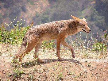 Coyote with mustard - image #306059 gratis