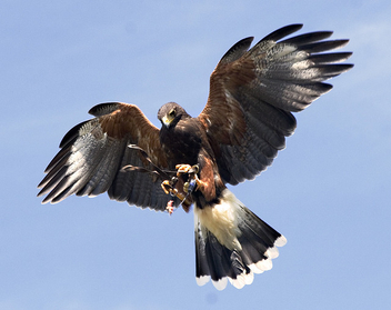 Harris Hawk - Free image #306139
