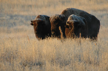 Three Bison on Rocky Mountain Arsenal National Wildlife Refuge - Free image #306199