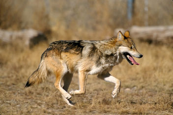 Mexican wolf - image gratuit #306299