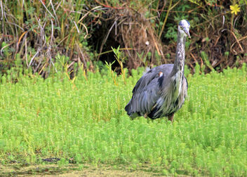 Great Blue Heron - image #306309 gratis