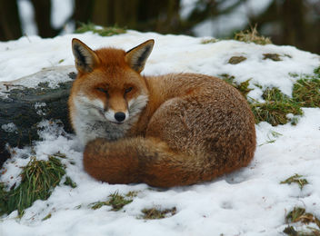Sleepy Fox - image gratuit #306329