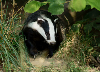 Badger - Free image #306519