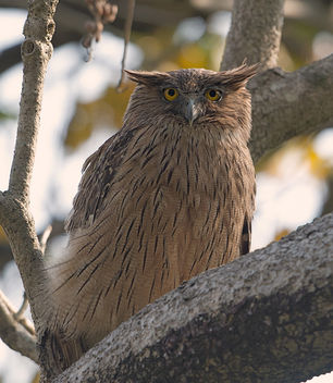 Brown Fish Owl - Free image #306569