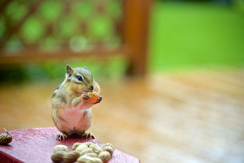 Chipmunk of the day - image #306609 gratis
