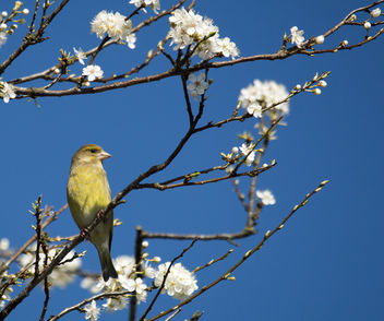 Green Finch - Free image #306749