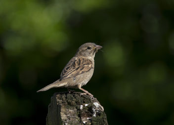 Female House Sparrow - image #306809 gratis
