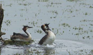 Great Crested Grebe - image #306909 gratis
