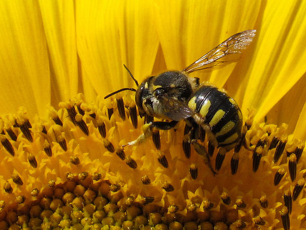 Wool Carder Bee - Free image #306929