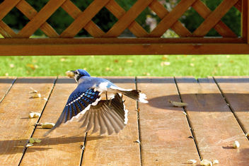 A Blue Jay fly past - Free image #306969