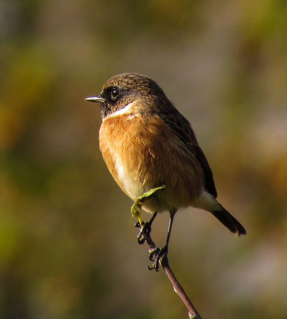 European Stonechat (male) - Free image #306989
