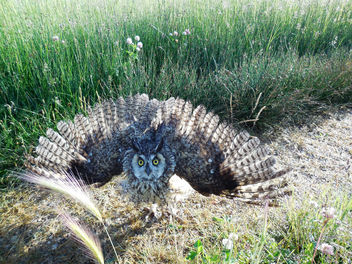 Long-eared Owl - Free image #307089