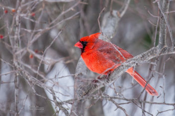Male Cardinal - Kostenloses image #307149