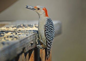 Red-bellied Woodpecker - image gratuit #307159