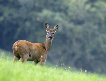 Eye Contact, Roe Deer, Cotswolds, Gloucestershire - Free image #307199