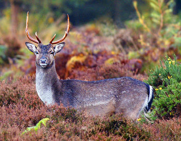 Fallow Deer, Forest of Dean, Gloucestershire - Kostenloses image #307219