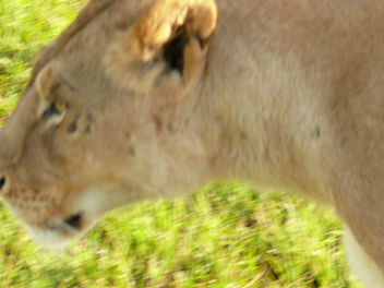 Lioness in the Mara ! - image #307249 gratis