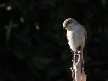 Pied Flycatcher - Free image #307439