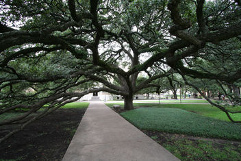 Century Tree at Texas A&M - Free image #307709