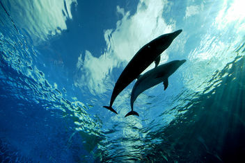 Deep Blue Dolphin Love - Free image #308739