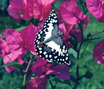 Butterfly on Bougainvillea - image #313239 gratis