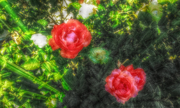 Capture of roses - image #319269 gratis