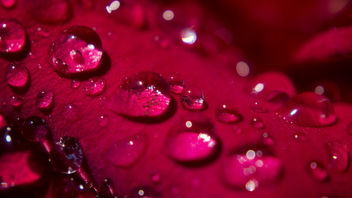 Morning Dew on a Rose Petal - image gratuit #324199