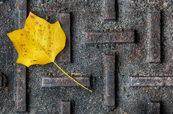 Yellow Tulip Poplar Leaf on State Park Manhole - image gratuit #324389