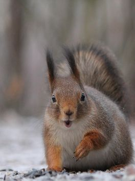 Squirrel close up - image gratuit #326549
