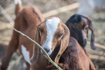goats on a farm - image gratuit #328099
