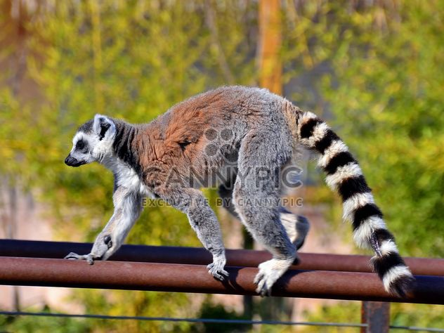 Lemur close up - image gratuit #328459