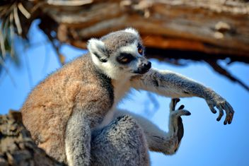 Lemur close up - image gratuit #328479