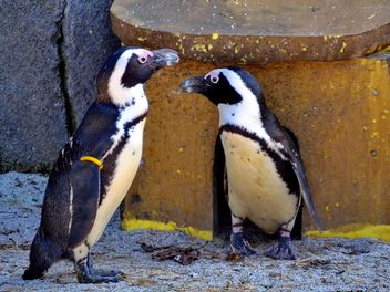 Couple of penguins - image #328499 gratis