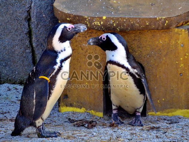 Couple of penguins - Free image #328499