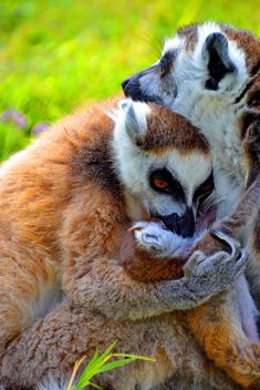 family of lemurs - Free image #328539