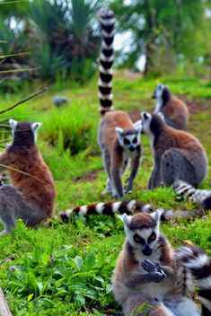 Lemurs close up - image gratuit #328559