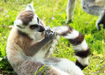 Lemur close up - image gratuit #328569