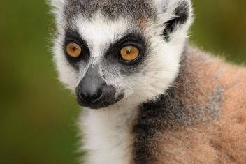 Lemur close up - image gratuit #328579