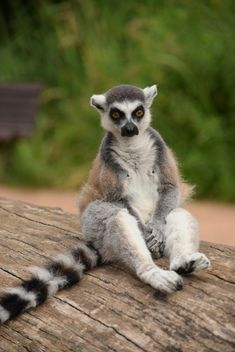 Lemur close up - image gratuit #328599