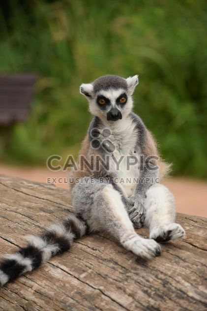 Lemur close up - Free image #328599