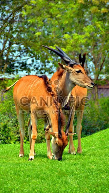 couple d'antilopes - image gratuit #328659