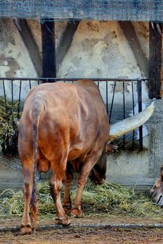 Watusi bull on farm - Free image #329049