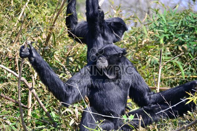 Siamang gibbon female with a cub - Free image #330229