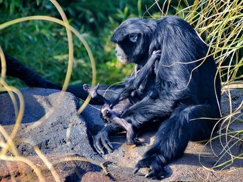 Siamang gibbon female with a cub - Free image #330249