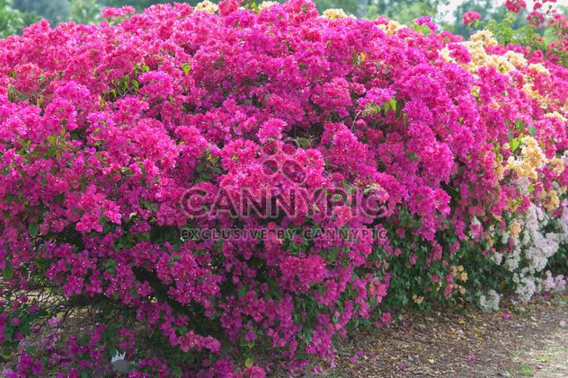 Bright pink bougainvillea bush - бесплатный image #330889