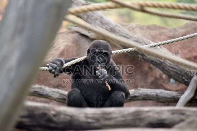 Gorilla on rope climbing in park - Free image #333159