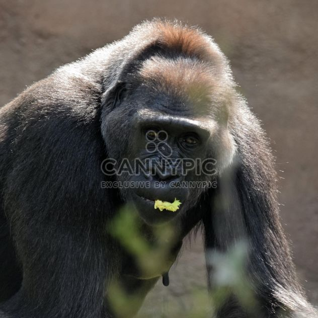 Gorilla eats green in park - бесплатный image #333169